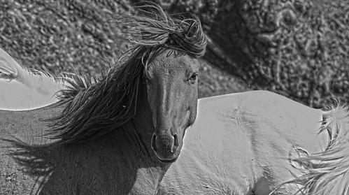 Horses of the Gobi Desert Mongolia 2 DSC_1535