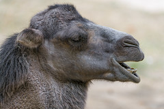 Profile of a camel