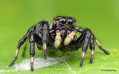 Jumping spider, Phiale sp., Salticidae