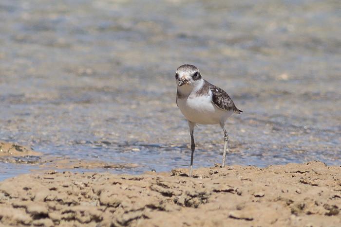 Lesser Sand Plover - maybe