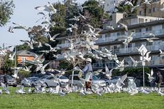 Ring-Billed Gulls (Larus delawarensis) at Lake Merritt, Oakland, California, USA