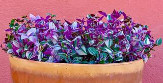 Tradescantia fluminensis tricolor Minima