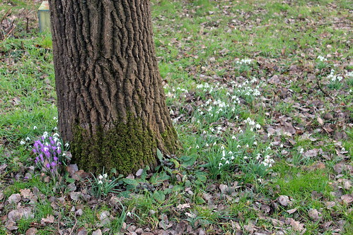 Crocuses and snowdrops around the old poplar tree.