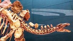 Dinosaur Skeleton