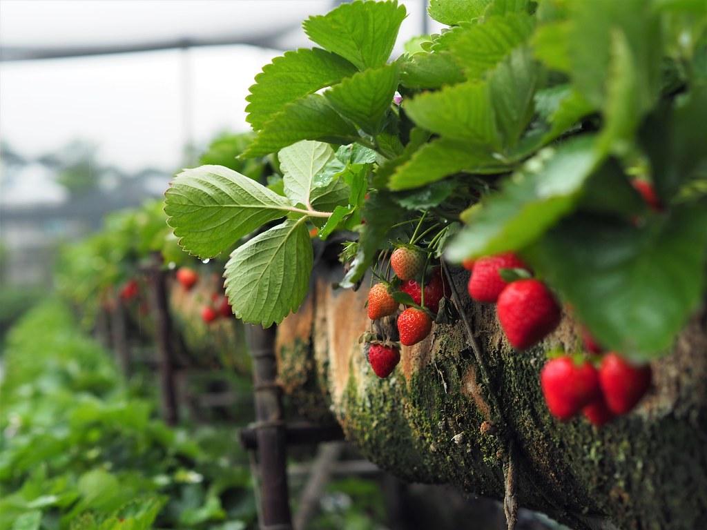 善化大安草莓 (4)