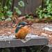 Kingfisher 1903171493.jpg