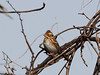 Photo:Rustic bunting (Schoeniclus rusticus,  カシラダカ) By Greg Peterson in Japan