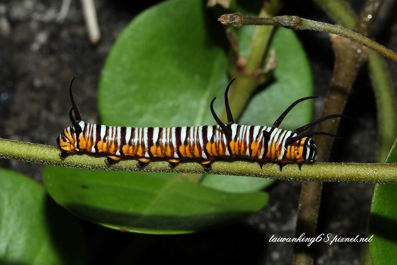 端紫斑蝶幼蟲