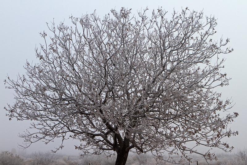 Frosty--Tree-5-7D1-010319