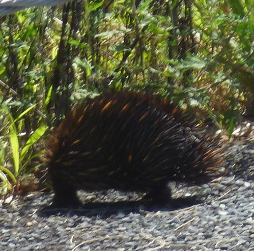 Echidna, Telegraph Point, NSW March 2019