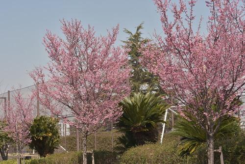 DSC_1268 横浜緋桜