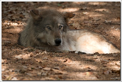 Loup - Photo of Lavergne