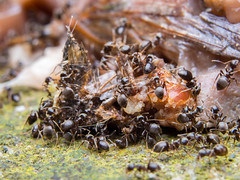 Large number of ants foraging