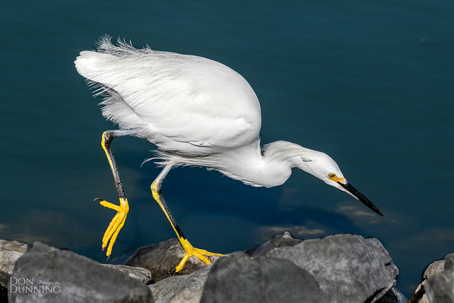 Snowy Egret At Work