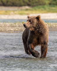 Coastal Brown Bear fishing for Salmon