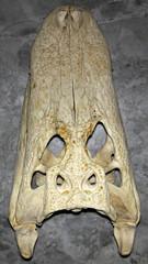 Alligator mississippiensis skull (American alligator) 2