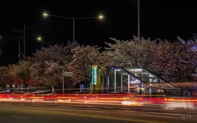새절역 불광천 벚꽃 풍경