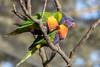 Lori mnohobarvý horský (Trichoglossus haematodus mollucanus)