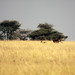 Cheetah hunting Thomson's gazelle, Piaya Serengeti Tanzania