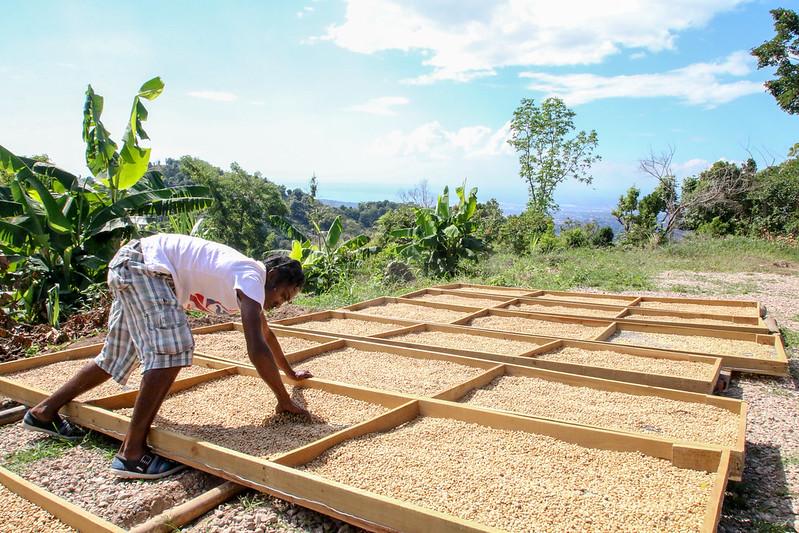 Jamaica Coffee Farmers Association, Saint Andrew Parish, Jamaica. Photos by Sam Miller. (2)