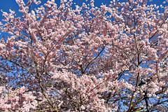 Cherry Blossoms -- The Bavarian Inn Shepherdstown (WV) April 2019