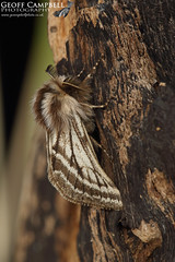 Belted Beauty (Lycia zonaria)