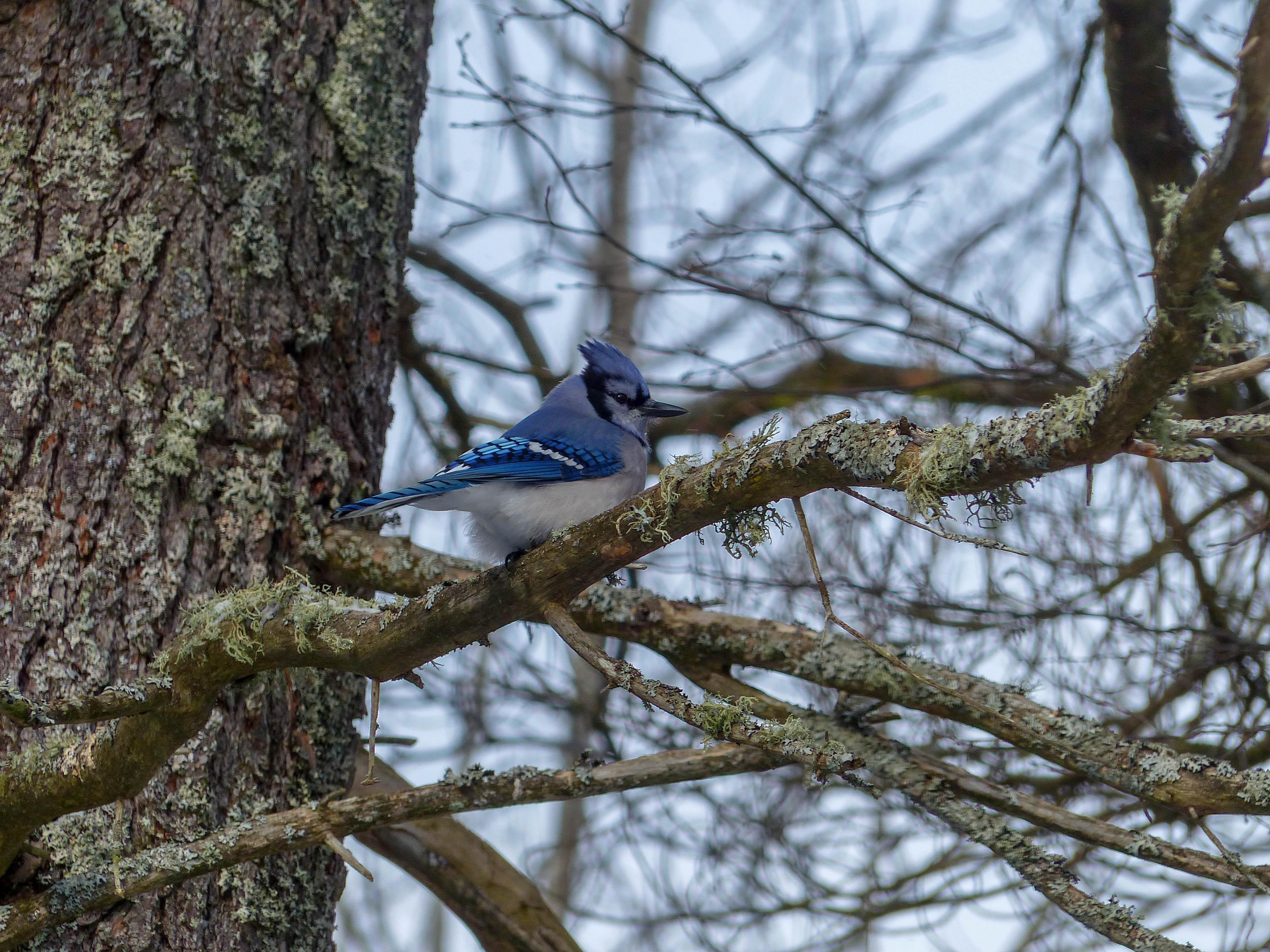 Silent Lake Provincial Park blue jay