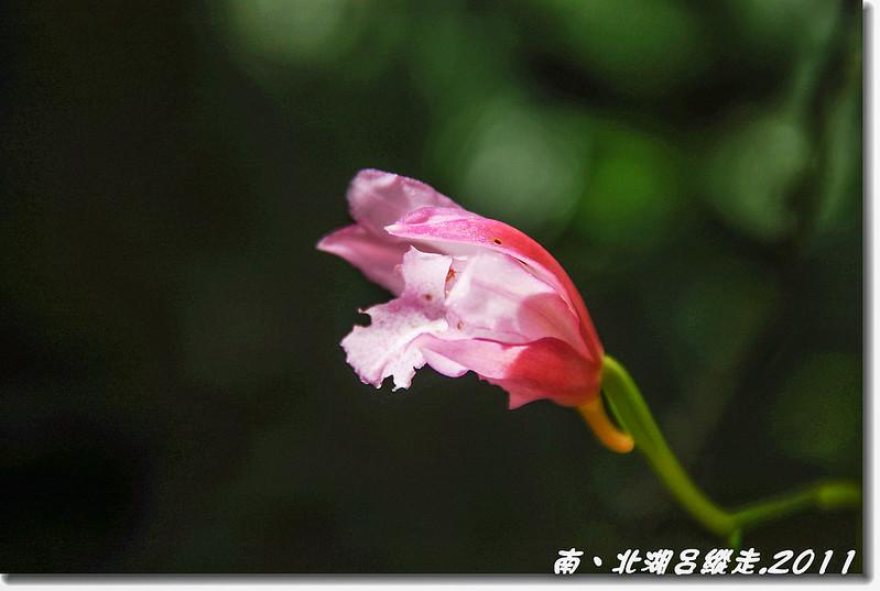 細莖鶴頂蘭 8