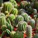 Bangkok – Cacti