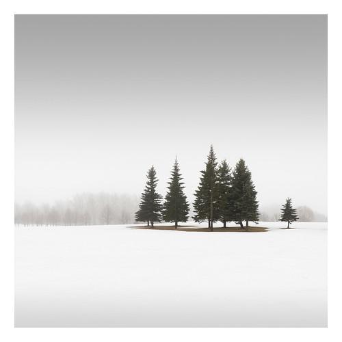 Winter Conifers I