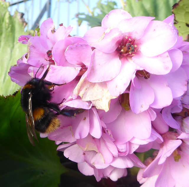 queen bumblebee on bergenia