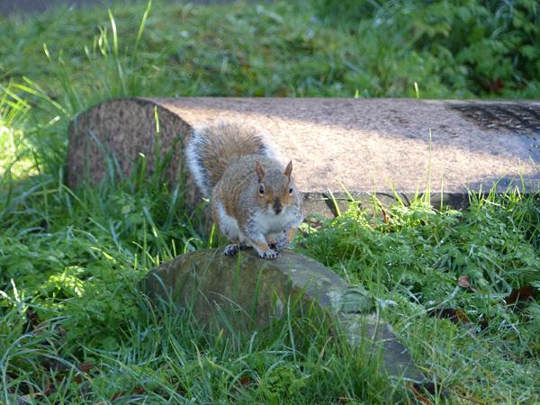 écureuil brompton cemetery