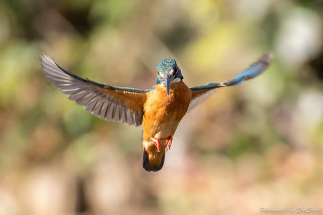 20190210-kingfisher-DSC_1046