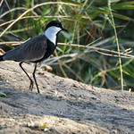 Black Headed Lapwing - Kenya