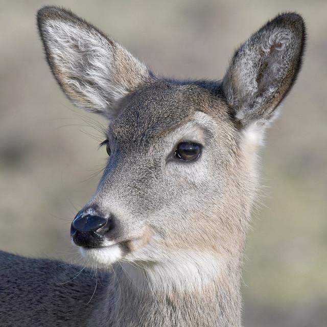Columbian White-tailed Deer (Odocoileus virginianus leucurus)_DDZ1315