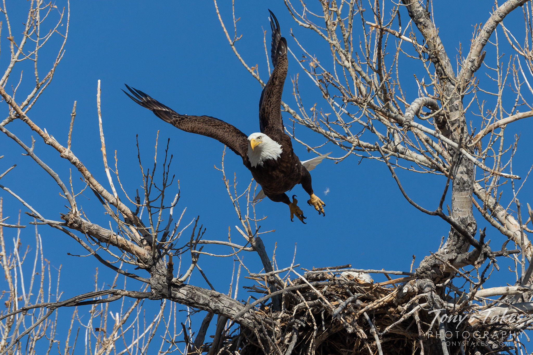 A male bald eagle launches into the air from its nest along the South Platte River. (© Tony's Takes)