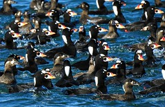 Scoters, Scoters and more Surf Scoters