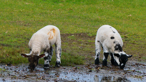 Lambs by a muddy puddle