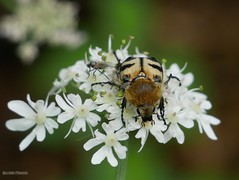 Trichius Fasciatus 2 - Photo of Alençon