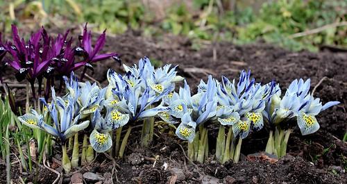 Iris winogradowii x histrioides 'Katharine Hodgkin'  32377897427_cd281c32bb