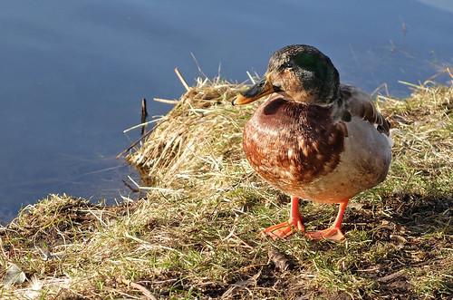 Lady duck - sunbathing