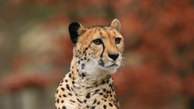 Geparden Mama, Canon EOS 750D, Sigma 150-600mm f/5-6.3 DG OS HSM | C
