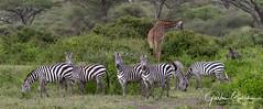 Ndutu, Ngorongoro Conservation Area, South Serengeti park, Tanzania