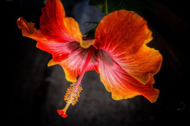 Toronto Ontario ~ Canada ~ Edwards Gardens ~ Botanical Garden ~  Hibiscus Rosa