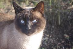 Chat aux yeux bleus - Photo of Bazoches-lès-Bray