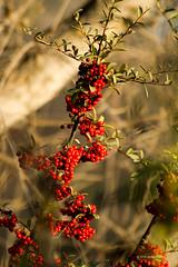 red elderberry 2122