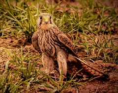 Grounded Kestrel.