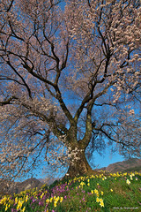 10山梨の桜 (19.4.6) (171)