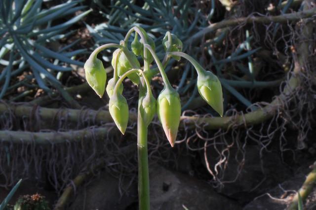 Cotyledon orbiculata L. (Syn. Cotyledon paniculata L. fil.) - Boterboom - BG Meise