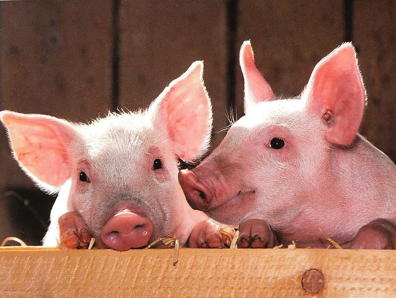全球50%的豬肉都擺上了中國的餐桌。圖片來源:skeeze,轉載自《中外對話》